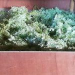 Séchage des fleurs de sureau