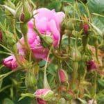 Rose de Damas bio culture