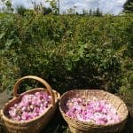 récolte des roses