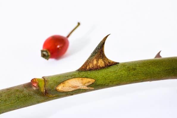 Fruit de l'églantier