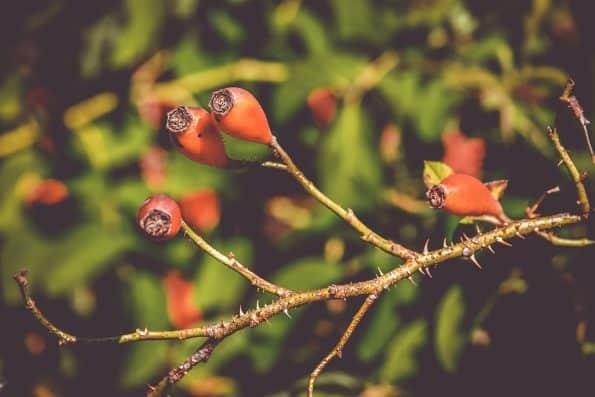Fruit de l'églantier sur rameaux
