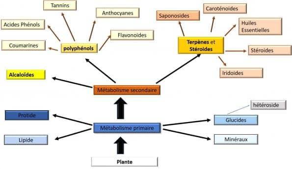 Schéma des principales substances élaborées par les plantes médicinales