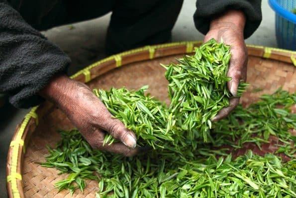 Thé vert riche en tannins