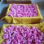 rose de damas avant distillation